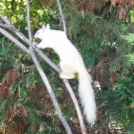albino squirrel 2s.JPG.jpg