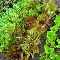 Lettuces in my kitchen garden