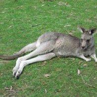 Kangaroo pic 1