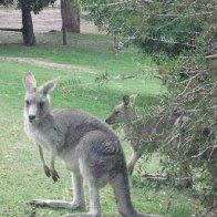 Kangaroo pic 2