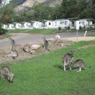 Kangaroo pic 3