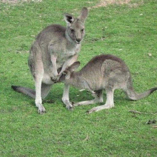 Kangaroo pic 4