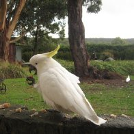 Feeding the Cockatoos