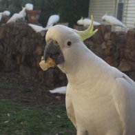 Cockatoo with Bread