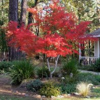 """""""Seiryu"""" Japanese Maple in front yard"""