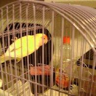 CC Starr aka crazy chicken