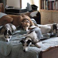 3 whippets and a greyhound