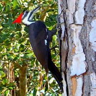 Pileated Woodpecker.JPG.jpg