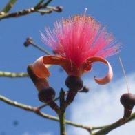 Shaving Brush Tree blossom-001