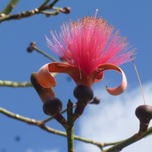 Shaving Brush Tree blossom-001