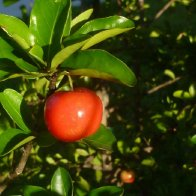 barbados cherry 2.jpg