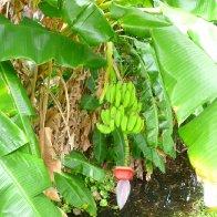 Banana Flower.JPG.jpg