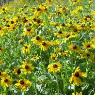 blackeyed susan.jpg