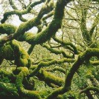moss covered tree in Muir Woods.jpg
