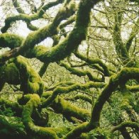 moss covered tree in Muir Woods.jpg