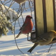Pine Grosbeaks Jan 24 2016.jpg