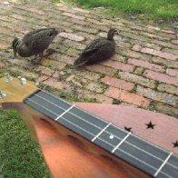 Simerman with Ducks