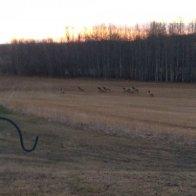 Elk Herd (2).JPG.jpg