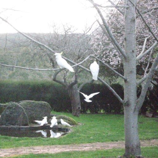 Cockatoos at Tasma Pond