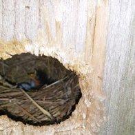 New Bluebird Baby.jpg
