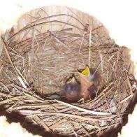 Bluebird-2.jpg
