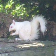 albino Squirrel 1s