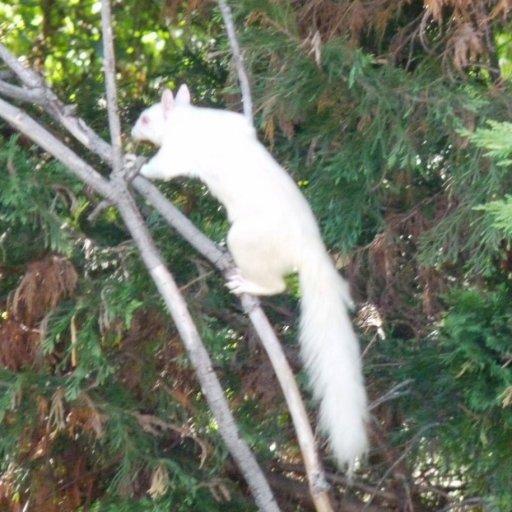 albino squirrel 2s