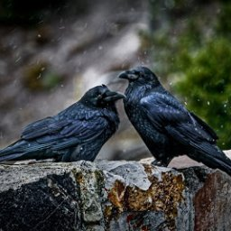 The Blackbird and His Mate